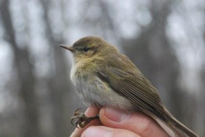 Anellament d'ocells a la Mitjana - novembre 2021