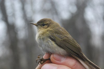 Anellament d'ocells a Rufea - setembre 2021