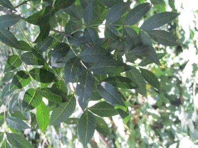 Imatge del event Visita guiada a la Mitjana. Les plantes del bosc de Ribera