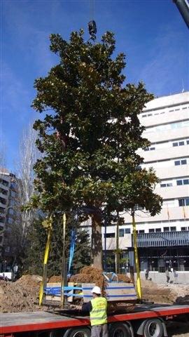 Imatge de la notícia Trasllat de 4 arbres de la plaça Cervantes