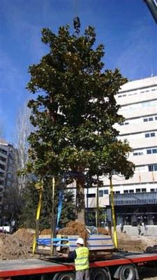 Trasllat de 4 arbres de la plaça Cervantes