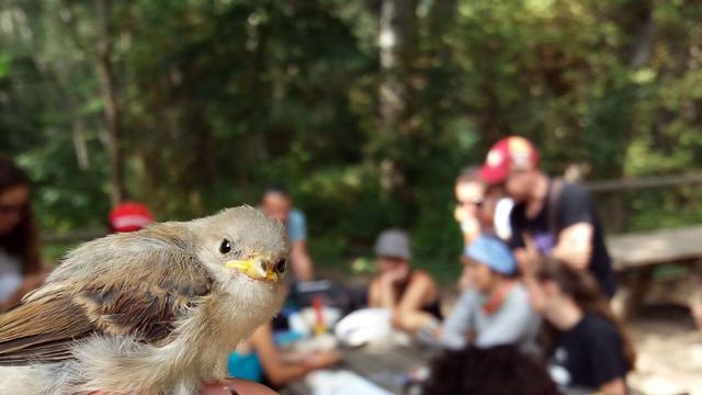 El taller del Parc de la Mitjana anella 36 ocells de 14 espècies diferents en un matí
