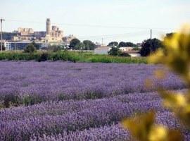 Inici de la campanya de collita de plantes aromàtiques a l'Horta de Lleida